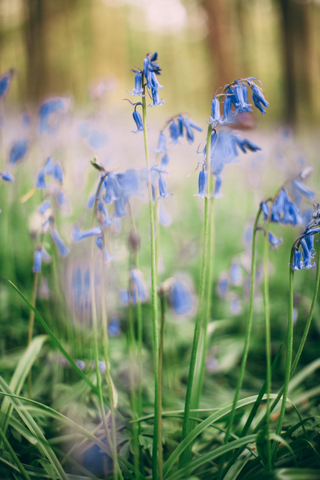 bluebells-19