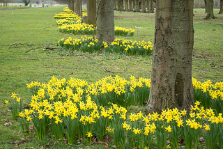 20180322-24_Coombe Abbey Country Park - Daffodils + Avenue of Trees
