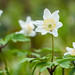 Wood Anemone And Visitor