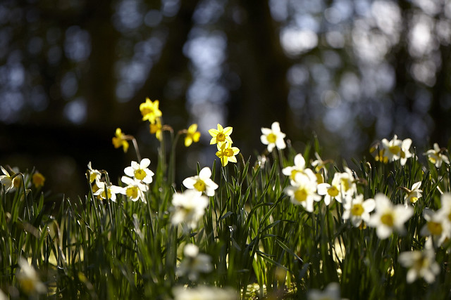 Narcissus on the hill (10)