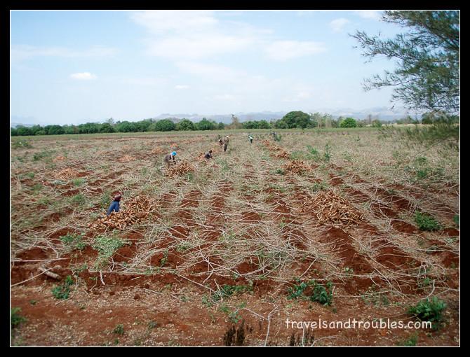 Burmesen aan het oogsten