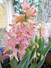 Peachy hyacinth