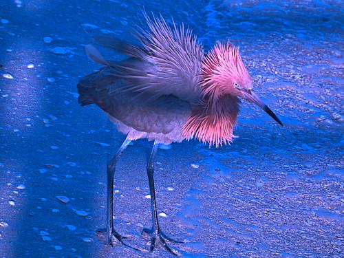 Reddish Egret 01-20180403