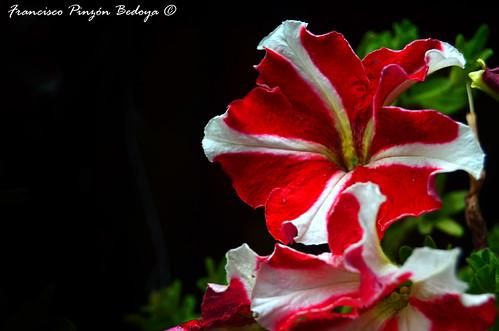 Petunia_Bicolor_01