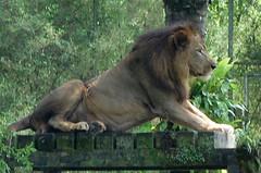 lion1_DSC_0185