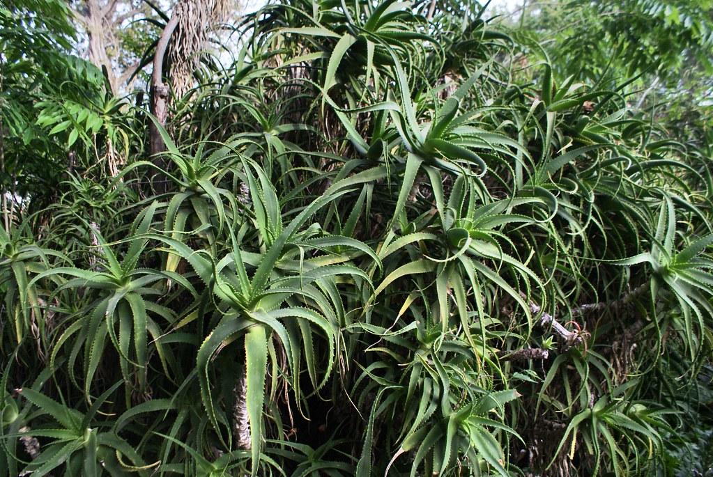 Aloe vera du jardin botanique de Palerme en Sicile.
