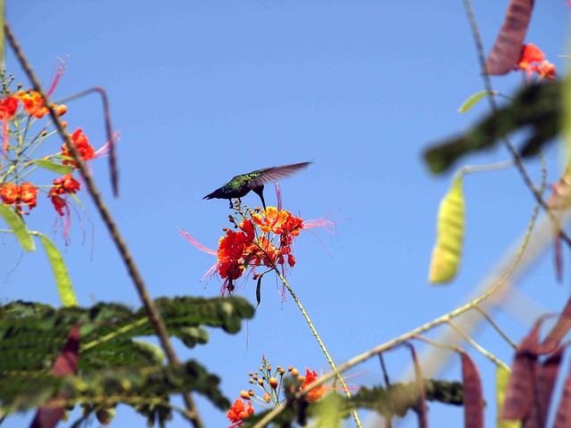 Dominica Humming bird