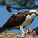 Osprey Eating by dbuk2