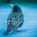 Snowy Starling