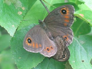 Lasiommata maera (in copula) - Large wall brown (mating) - Бархатка (спаривание)