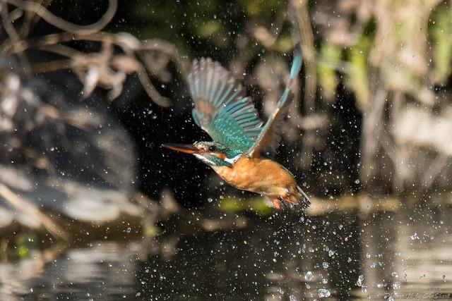 20180330-kingfisher-DSC_0367