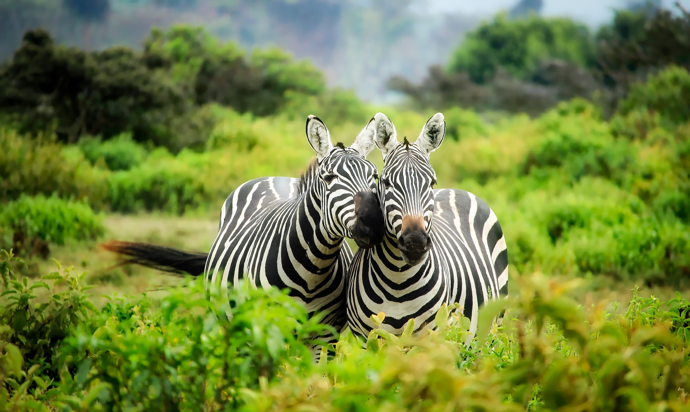Two zebras nuzzling each other