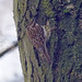 Treecreeper Wollaton Park 5-3-18