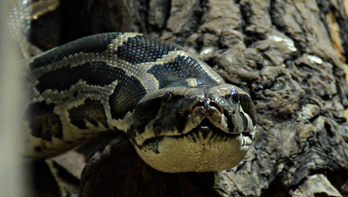 Photo:Dunkler Tigerpython By:Tobi NDH