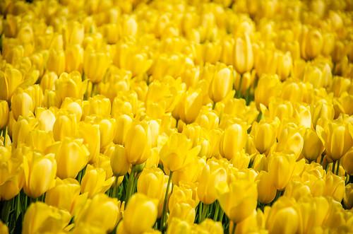 Skagit Valley Tulips-85