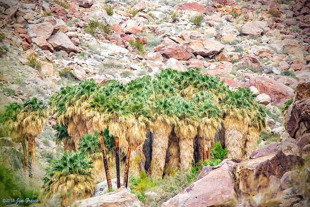 Oasis of California Fan Palms (Washingtonia filifera) at Palm Canyon in Anza-Borrego State Park