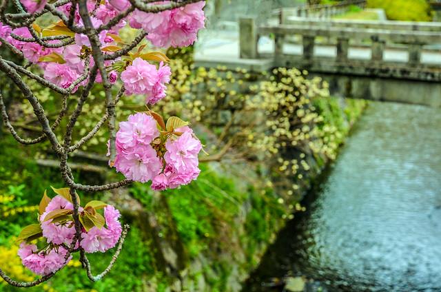 Philosopher's Path pink flowers cool bridge