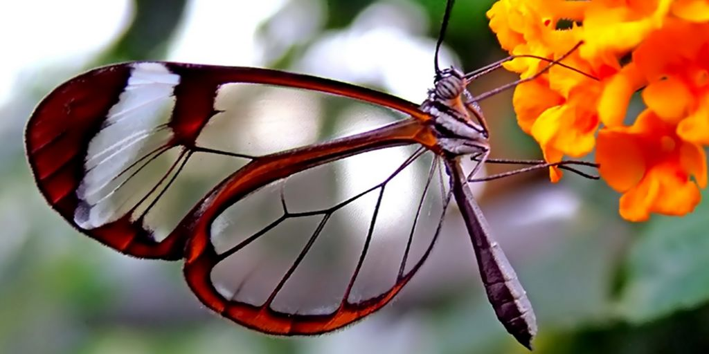 Les ailes des papillons permettent de produire un meilleur implant oculaire