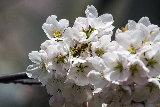 Bee and cherry blossoms - by Robarts Library, UofT