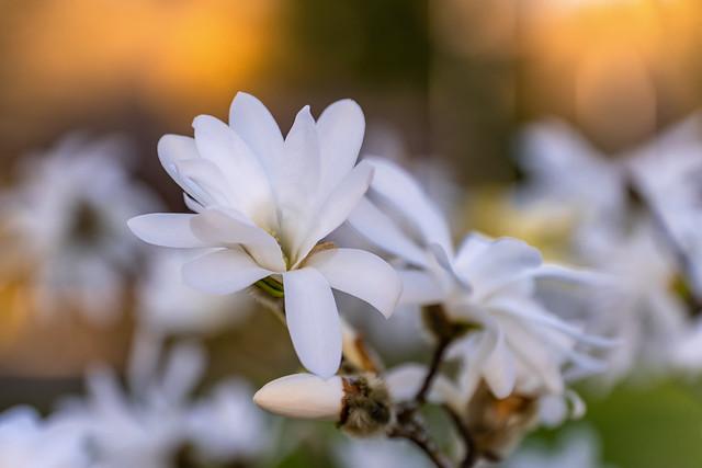 In full bloom   SONY ⍺7III & Sigma 4/24~105mm Art on Sigma MC-11
