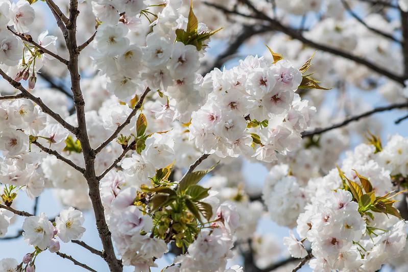 シロタエの花