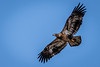 Juvenile Bald Eagle in Flight by jrp76
