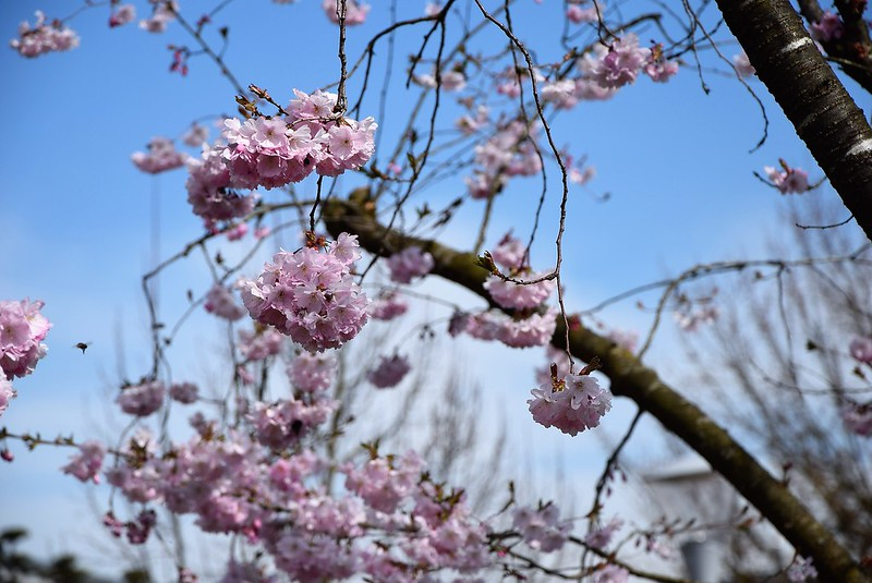 Japanese cherry blossom 12.04 (2)