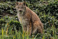 Canadian Lynx Sitting