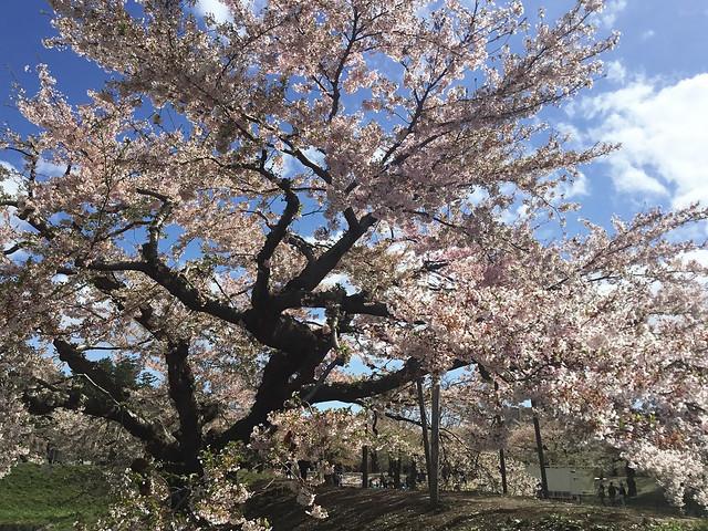 函館 五稜郭の桜 417_2