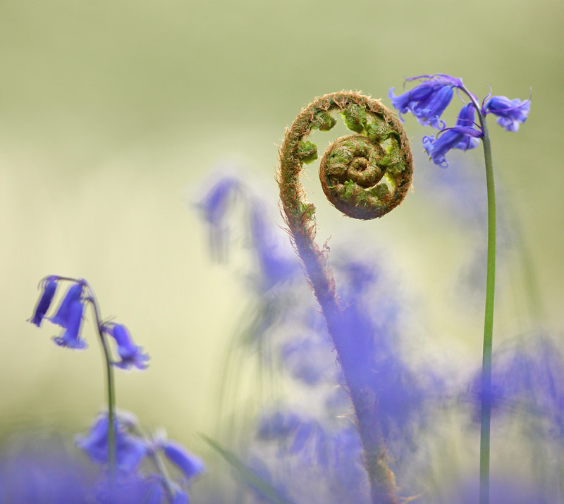 Bluebells and Uncoiling Fern