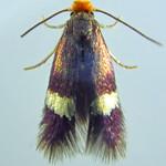 Stigmella aurella (Fabricius 1775) ♂ (Lepidoptera Nepticulidæ Nepticulinæ Nepticulini) - https://www.flickr.com/people/132574141@N04/