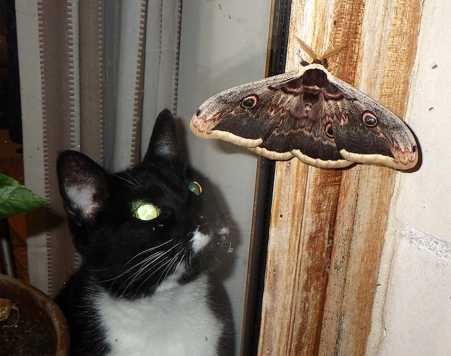 Giant Peacock moth and cat [WG2_4562]