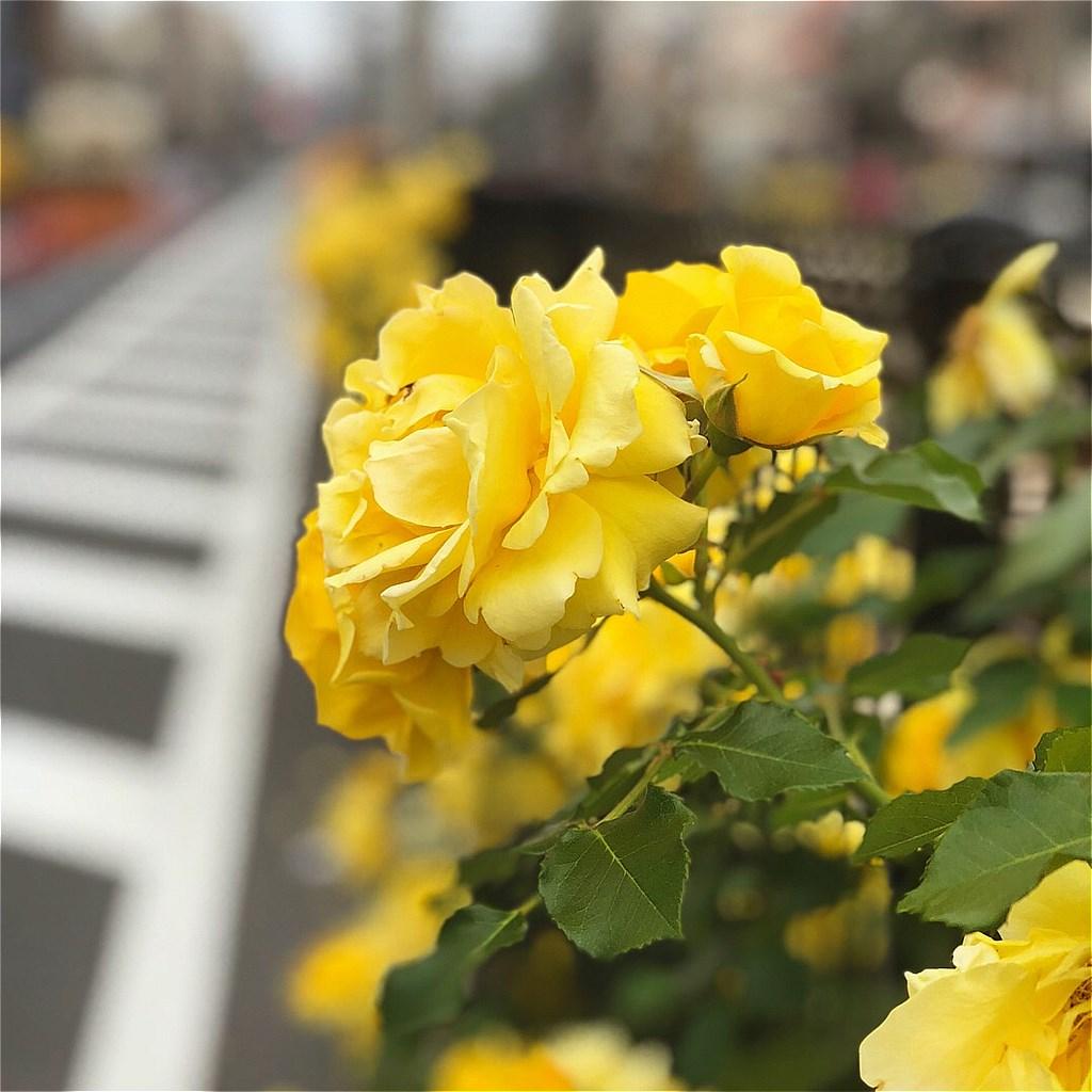 20180502_TokyoSakuraTram (25)
