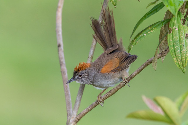 Synallaxis albescens, Pale-breasted Spinetail, Arquitecto Güitío