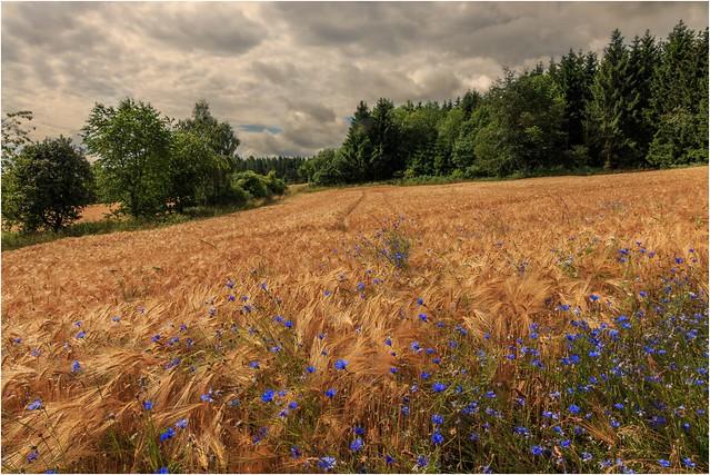 Heimat der Kornblumen