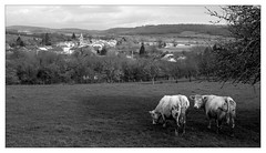 Vernois cows - Photo of Blondefontaine