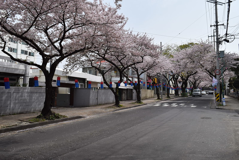 Jeju CHerry Blossoms (2)