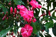 2 Caliman 180407 064 Orquidário Caliman planta lile