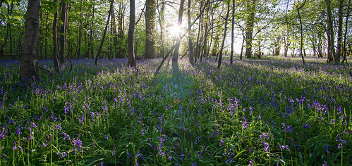 bluebells sunset forest samyang 12mm f20 light rays tree sun golden hour