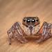 20180418 Macro Jumping Spider _4180206