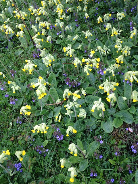 Cowslips (Primula veris) and selfheal (Prunella vulgaris)