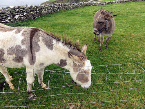 Donkeys at Dunbeg Fort on the Dingle Peninsula in Ireland