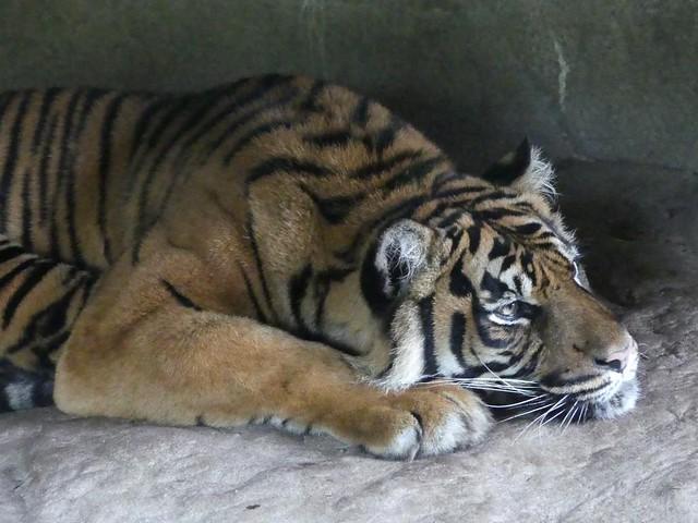 Tiger, Burgers Zoo