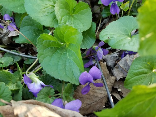Violets in the Garden