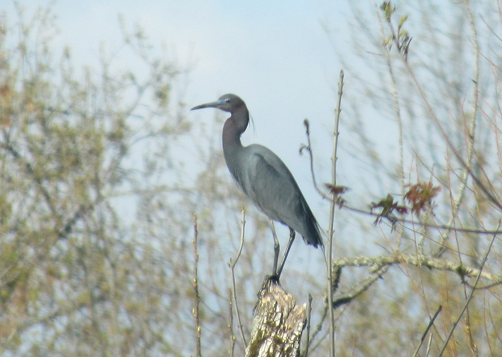 Little Blue Heron- the REAL Blue Heron