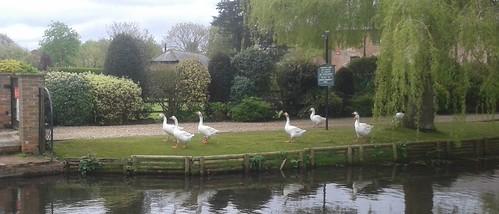 Geese at West Ashling