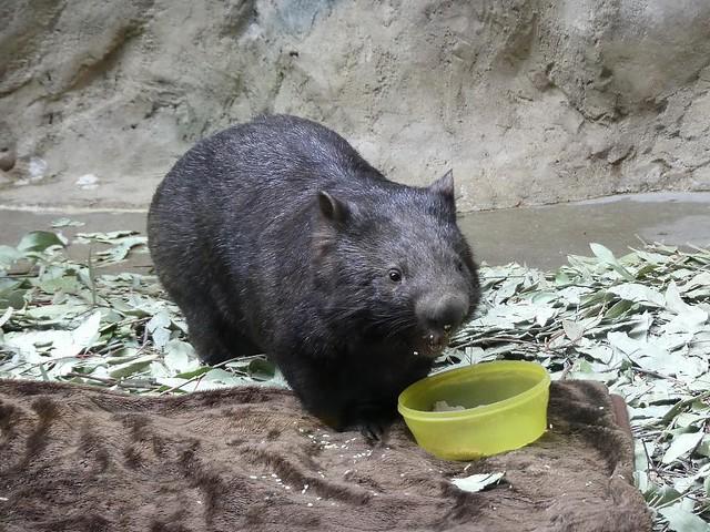 Wombat, Zoo Duisburg