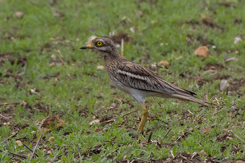 stone curlew (5)