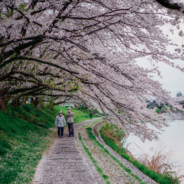 CherryBlossoms_206