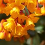 tiny orange bells